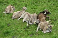 Müde Kühe