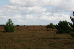 Amrum: Heidelandschaft auf der Wattseite