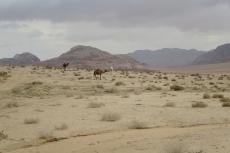 Jordanien – Dromedare im Wadi Rum