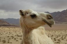 Jordanien – Dromedar im Wadi Rum