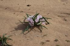 Jordanien – Blume im Wadi Rum