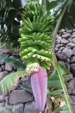 La Gomera: Bananen