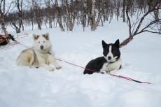Lapplands Drag – Husky Expedition: Warten aufs Futter