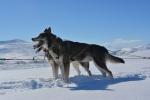 Lapplands Drag – Husky Expedition: Unsere kraftvollen Zugtiere