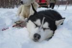 Lapplands Drag – Husky Expedition: Monster ist müde