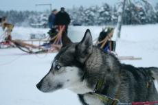 Lapplands Drag: Hugo am Ziel