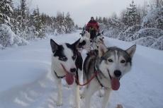 Lapplands Drag: Einmal freundlich in die Kamera hecheln