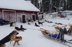 Lapplands Drag: Am Ende einer Tour - nur die Haushunde toben noch