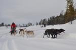 Lapplands Drag: Alles, was die Pfoten hergeben...