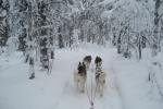 Lapplands Drag: Nur die Hunde und jede Menge Schnee