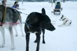 Lapplands Drag: Holtan denkt schon ans Fressen