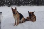 Lapplands Drag: Die Haushunde Buffy und Sheela