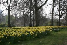 Daffodils im St. James\'s Park
