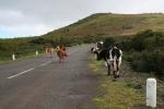 Madeira - Ich will Kühe !!!