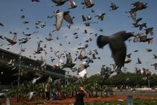 Marokko: Tauben in Casablanca