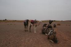 Marokko: Abschied von den Kamelen