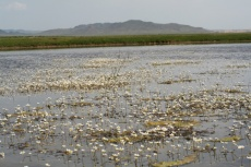 Mongolei: Blütenpracht im Wasser