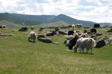 Mongolei: Yakherde