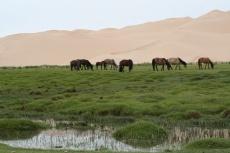 Mongolei: Grasende Pferde vor Dünen