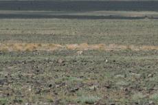 Mongolei: Gazelle