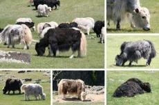 Mongolei: Yaks