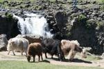 Mongolei: Yaks am Wasserfall