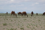 Mongolei: Kamele vor Fata Morgana