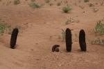 Mongolei: Wüstenspargel