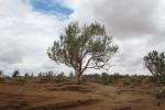 Mongolei: Saxaulbaum