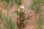 Mongolei: Blühender Wüstenspargel