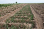 Mongolei: Zwiebelanbau
