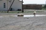 Mongolei: Ein seltener Anblick: Schweine im Zentrum von Bulgan