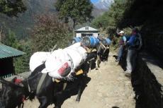 Nepal - Tragtiere im Gegenverkehr