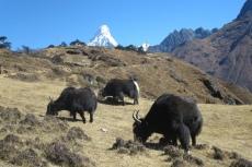 Nepal - Grasende Yaks vor dem Gipfel der Ama Dablam (6856m)