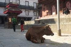 Nepal - Kuh am Durbar-Platz