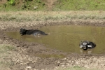 Nepal - Wasserbüffel beim Schlammbad