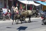 Nepal - Wasserbüffel in Pokhara