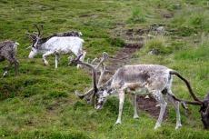 Nordkap, Hurtigruten und Lofoten: Rentiere bei Skarsvåg
