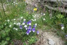 Karpaten - Blumen am Wegesrand