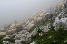 Karpaten - Schafherde am Strunga-Sattel