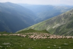 Karpaten - Schafherde im Capra-Tal