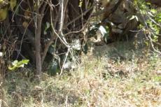 Botswana - Suchbild mit Löwe