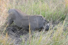Zimbabwe - Warzenschwein