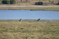 Botswana - Marabus im Chobe-Nationalpark