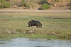 Botswana - Flusspferd im Chobe-Nationalpark