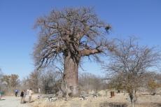 Botswana - Baobab-Baum