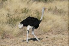 Botswana - Strauß am Straßenrand