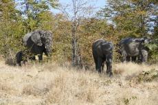 Botswana - Elefanten an der Straße zum Moremi-Reservat