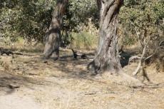 Botswana - Honigdachse am Khwai-Fluss