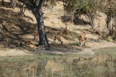 Botswana - Antilopen in der Nähe der Mogotlho-Lodge